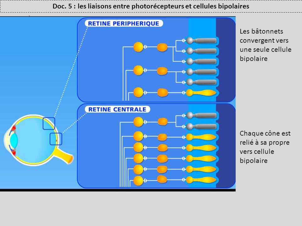 Doc. 5 : les liaisons entre photorécepteurs et cellules bipolaires Les bâtonnets convergent vers une seule cellule bipolaire Chaque cône est relié à s