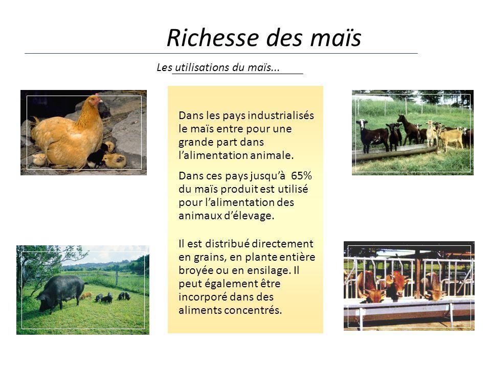 Richesse des maïs Dans les pays industrialisés le maïs entre pour une grande part dans lalimentation animale. Dans ces pays jusquà 65% du maïs produit