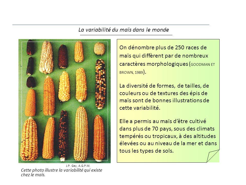Cette photo illustre la variabilité qui existe chez le maïs. La variabilité du maïs dans le monde J.P. Gay, A.G.P.M. On dénombre plus de 250 races de