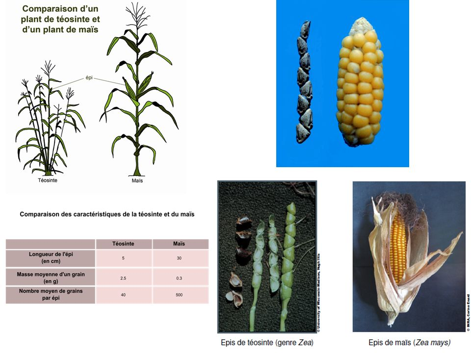 Structure et composition des grains Masse des grains : 10 grains de Maïs = 2.7g 10 grains de Téosinte = Les grains de Téosinte sont entourés dune cupule = glumes soudées.