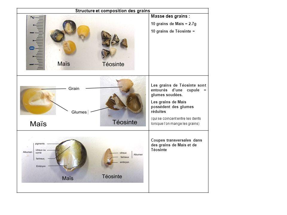 Structure et composition des grains Masse des grains : 10 grains de Maïs = 2.7g 10 grains de Téosinte = Les grains de Téosinte sont entourés dune cupu