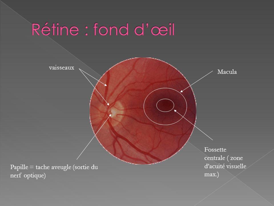 Le nerf optique sort de lœil au niveau du disque du nerf optique appelé aussi tache aveugle car il est dépourvu de photorécepteurs. Choroïde Tache ave