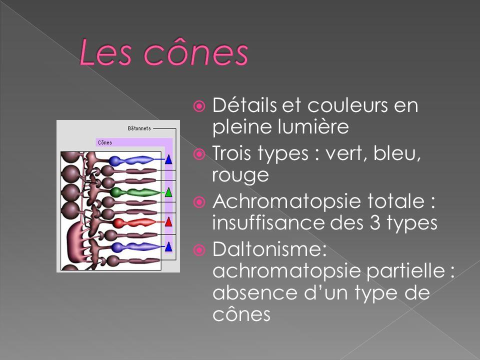 Les bâtonnets: permettent la vision périphérique et crépusculaire; sensibles à la lumière, ils fournissent des images floues et incolores. Les cônes :