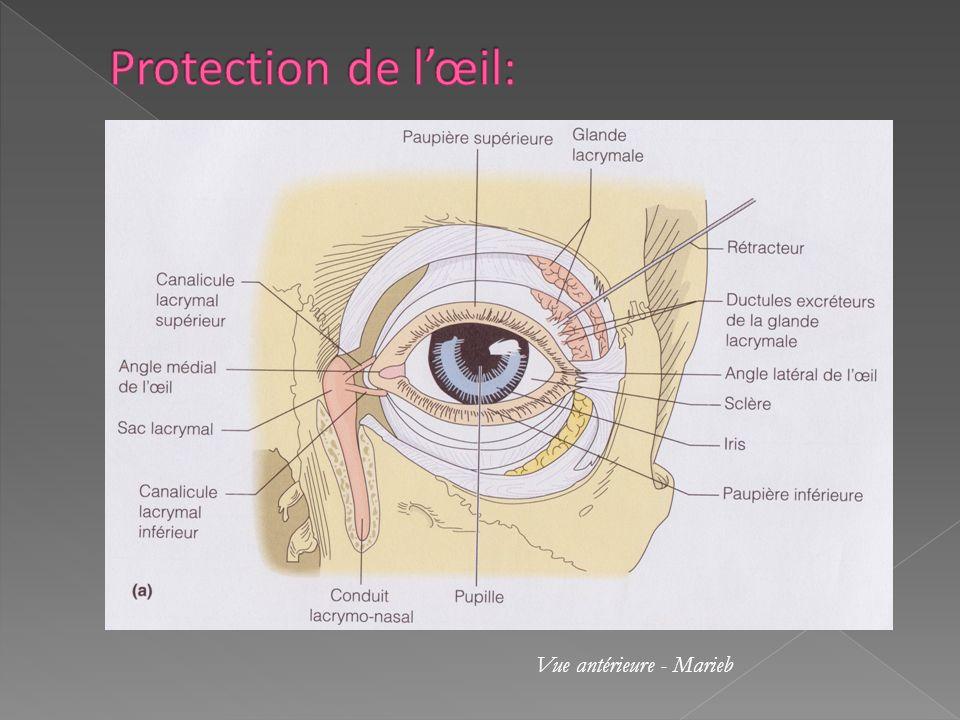 Le nerf optique sort de lœil au niveau du disque du nerf optique appelé aussi tache aveugle car il est dépourvu de photorécepteurs.