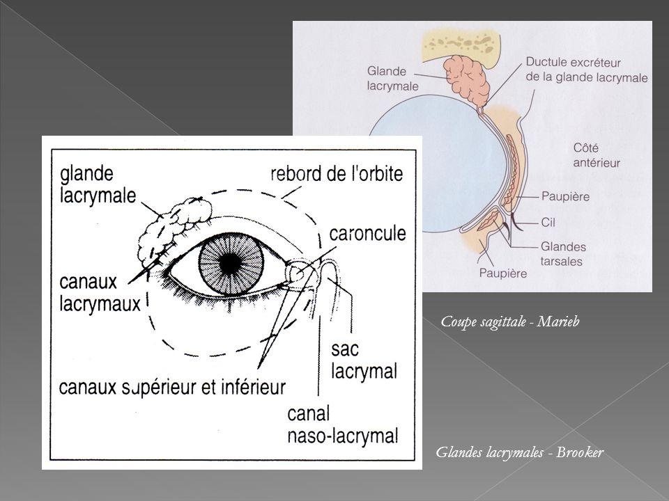 Coupe sagittale - Marieb Glandes lacrymales - Brooker
