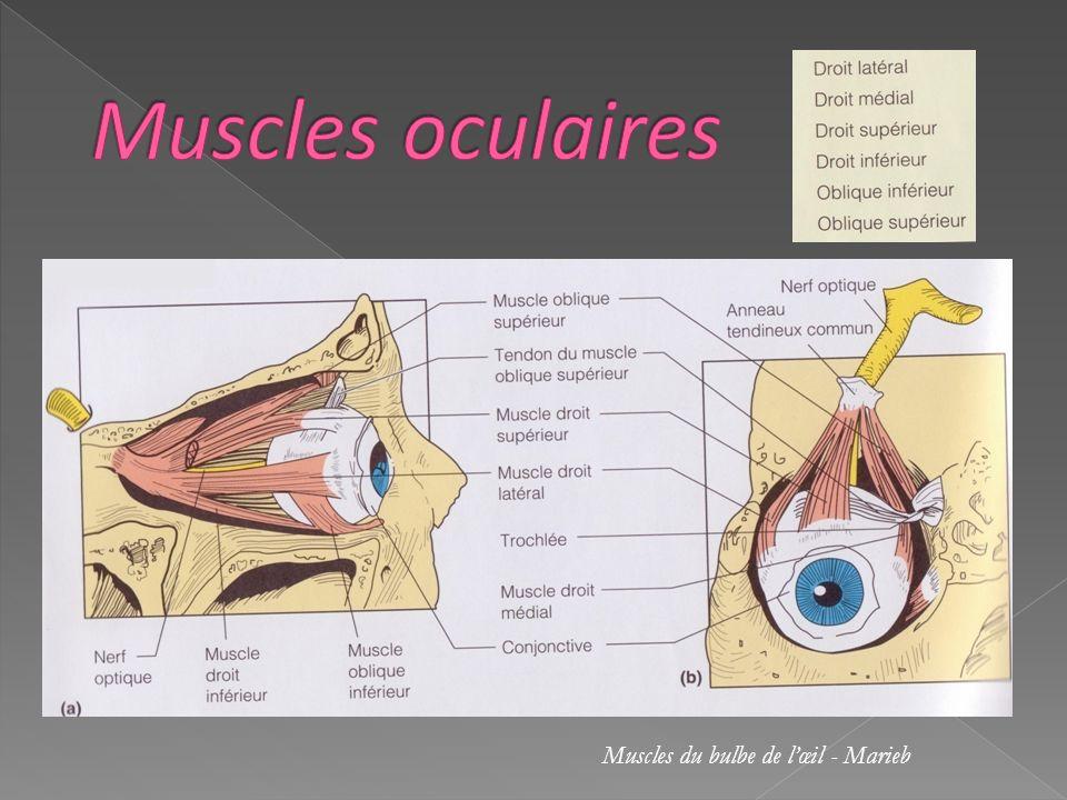 Muscles du bulbe de lœil - Marieb