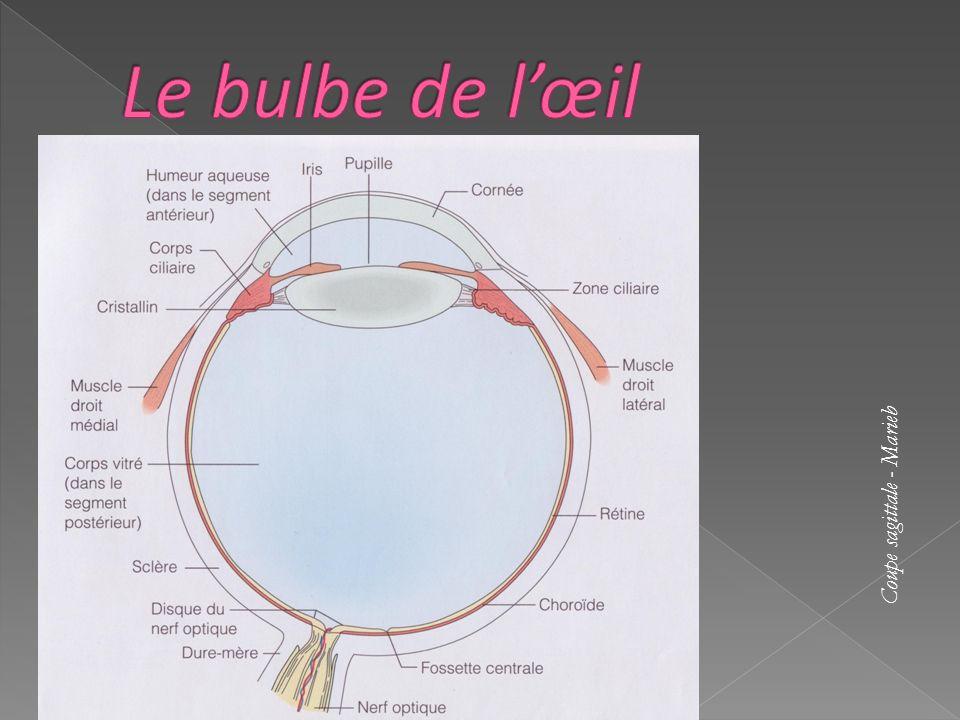 La lumière est focalisée par la cornée, elle entre ensuite par la pupille, elle est convergée par le cristallin et est captée par la rétine qui produit alors un influx nerveux.