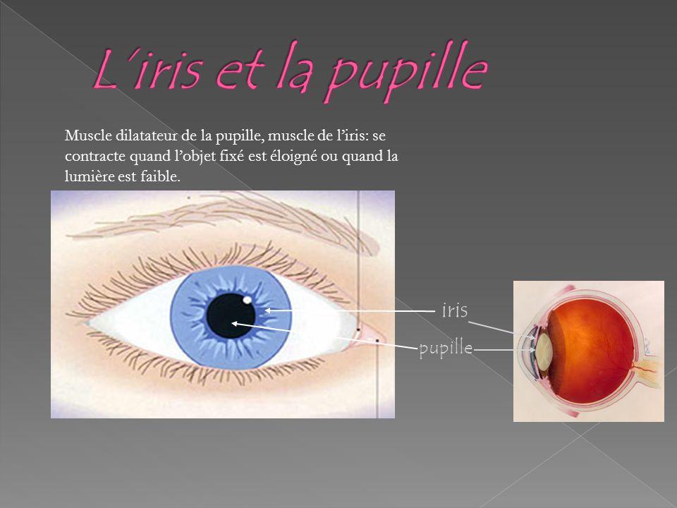 iris pupille Muscle dilatateur de la pupille, muscle de liris: se contracte quand lobjet fixé est éloigné ou quand la lumière est faible.