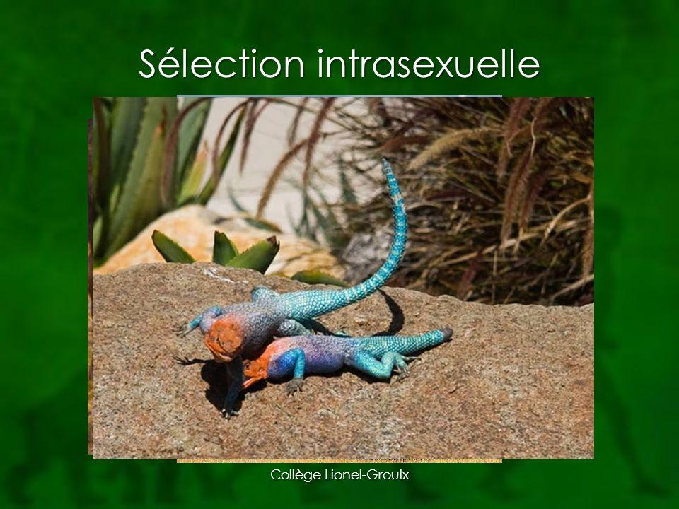 Sélection intrasexuelle Collège Lionel-Groulx