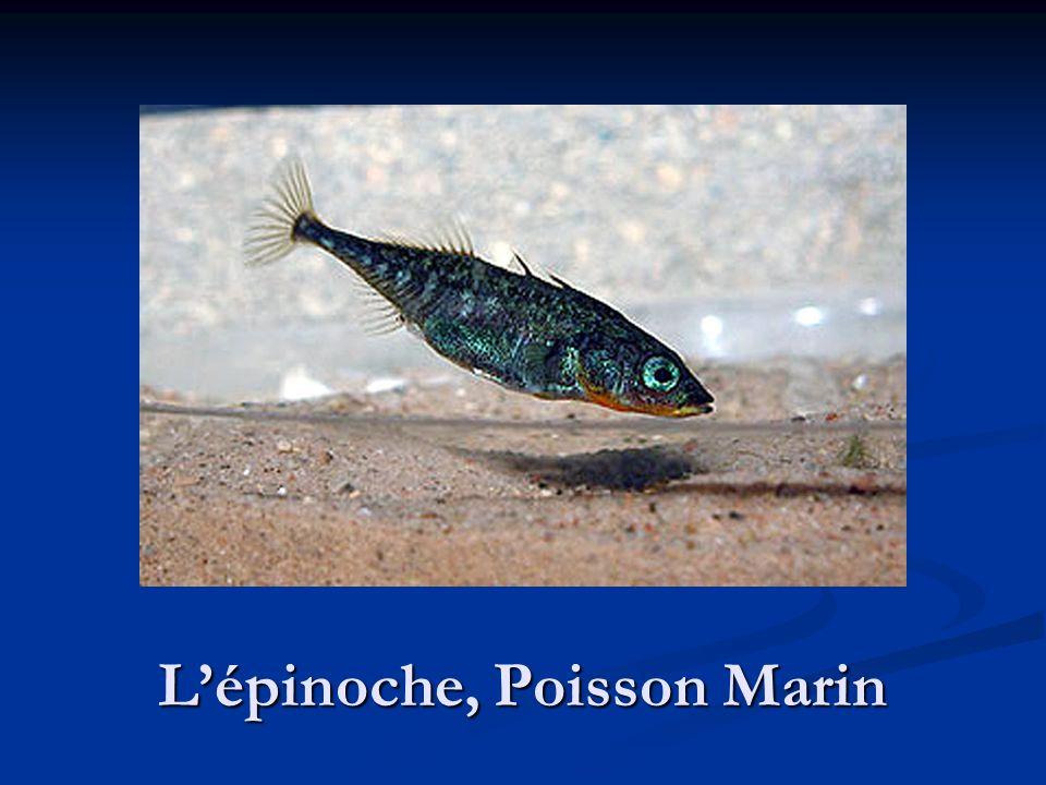 Lépinoche, Poisson Marin