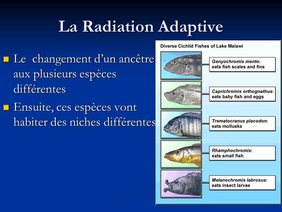 La Radiation Adaptive Le changement dun ancêtre aux plusieurs espèces différentes Le changement dun ancêtre aux plusieurs espèces différentes Ensuite,