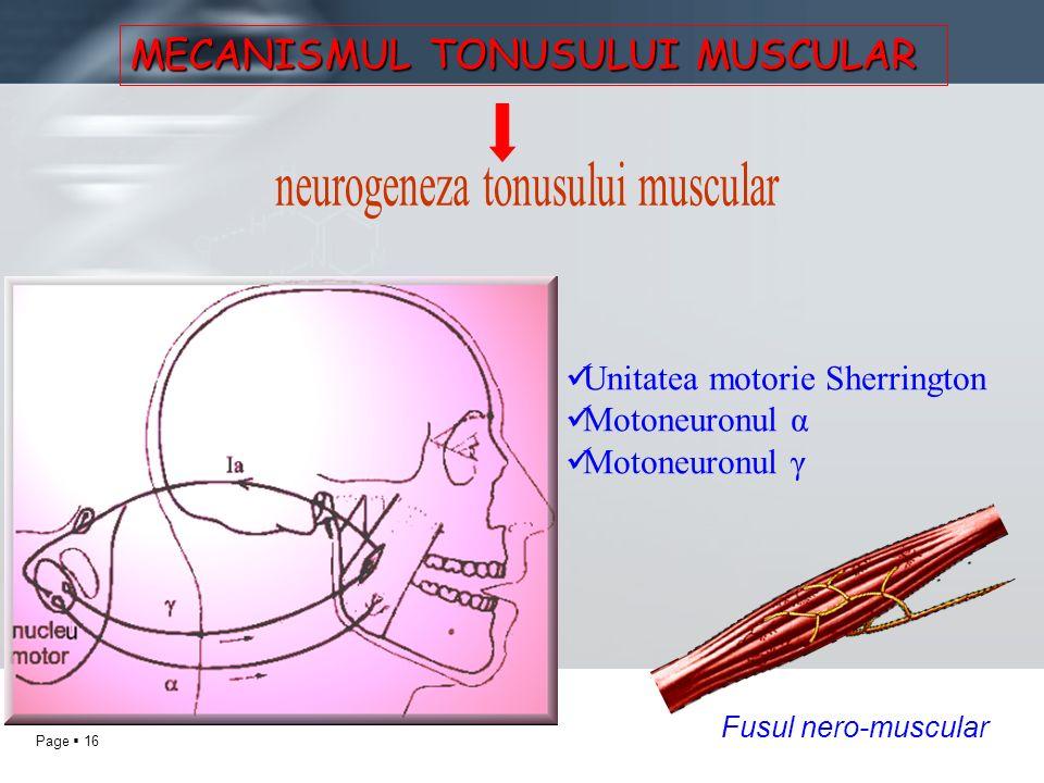 Page 16 MECANISMUL TONUSULUI MUSCULAR Unitatea motorie Sherrington Motoneuronul α Motoneuronul γ Fusul nero-muscular