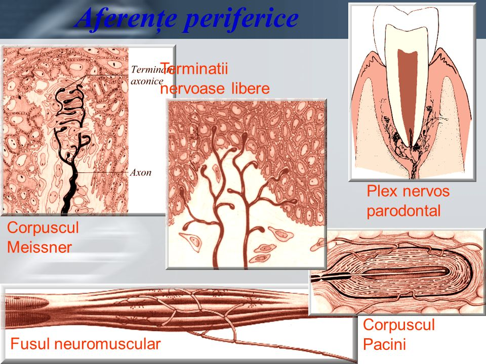 Page 21 Aferenţe periferice Corpuscul Meissner Terminatii nervoase libere Plex nervos parodontal Fusul neuromuscular Corpuscul Pacini
