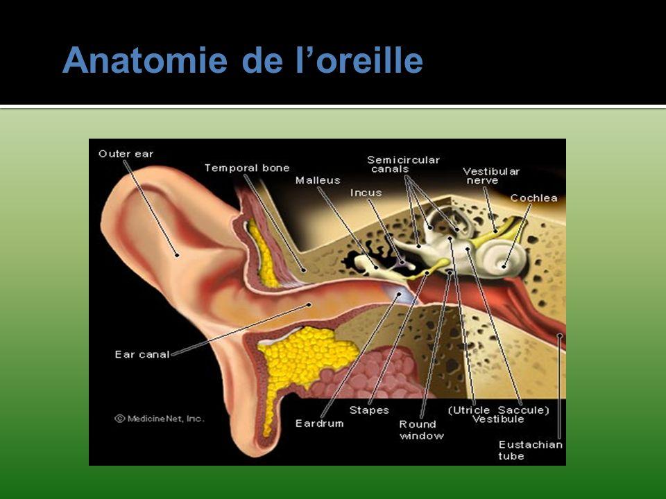 Anatomie de loreille