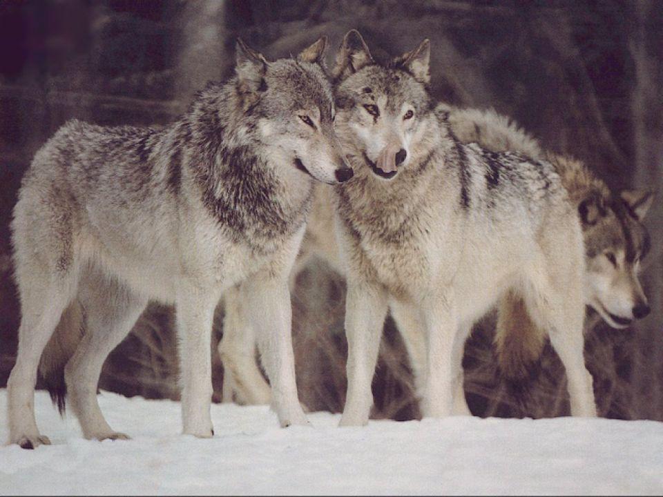 C'est comme si j'avais deux loups À l'intérieur de moi; Le premier est bon et ne me fait Aucun tort. Il vit en harmonie avec tout ce qui L'entoure et