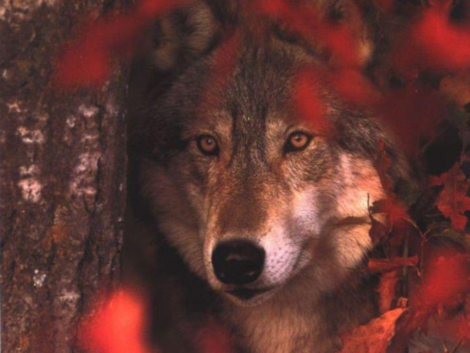Mais l'autre loup, AHHH…! Il est plein de colère. La plus petite chose le précipite Dans des accès de rage. Il se bat contre n'importe qui, Tout le te