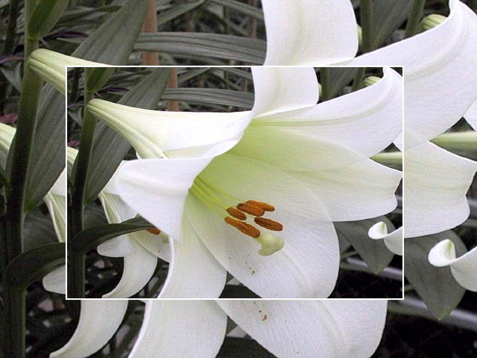 Le lys de Pâques est une fleur originaire du Japon...