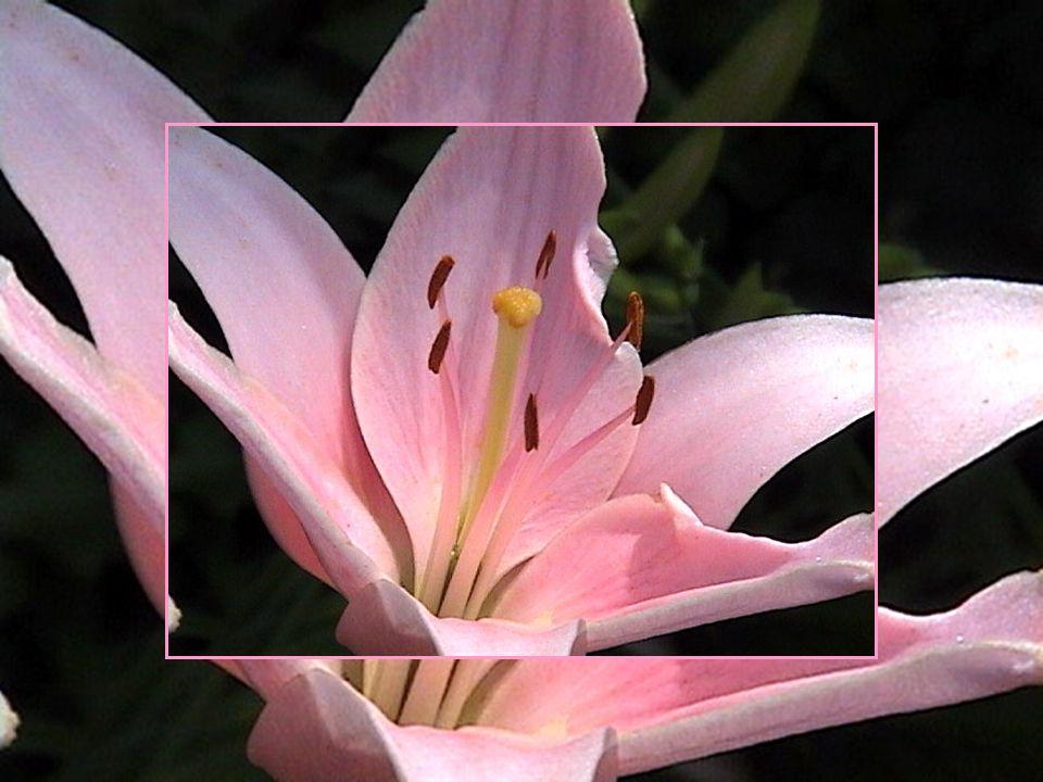 Le lys est la fleur le plus souvent associée à Pâques et à larrivée du printemps.