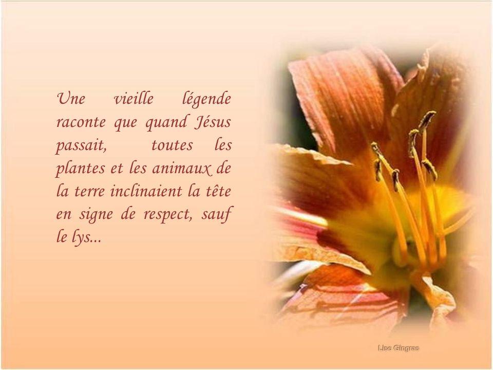 Une vieille légende raconte que quand Jésus passait, toutes les plantes et les animaux de la terre inclinaient la tête en signe de respect, sauf le lys...