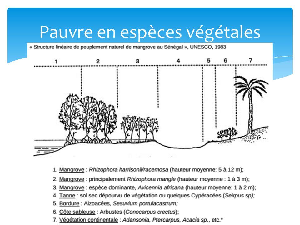 Milieu très productif : 1kg litière/m²/an réseau alimentaire complexe & faune abondante Zooplancton Insectes : papillons, abeilles, … Mollusques et crustacés Crabes de palétuvier : terrier dans la vase Poissons : 105 espèces Oiseaux : 177 espèces Marée basse : nourriture (vers, mollusques, petits crabes, …) Marée haute : refuge sur les branches Reptiles : crocodile, tortue de mer, varan, … Mammifères : Tigre du Bengale, Dugong, loutres, macaque Zone dalimentation, reproduction, support, habitat Espèces animales