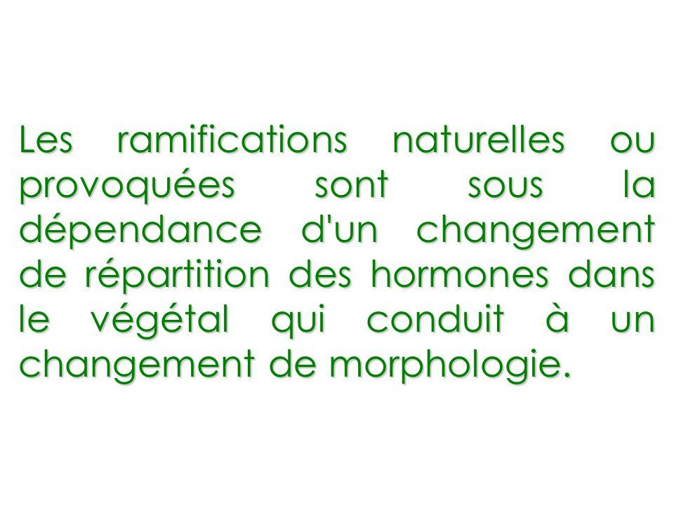 Les ramifications naturelles ou provoquées sont sous la dépendance d'un changement de répartition des hormones dans le végétal qui conduit à un change
