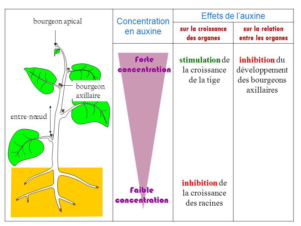 Concentration en auxine Effets de lauxine sur la croissance des organes sur la relation entre les organes bourgeon apical bourgeon axillaire entre-nœu