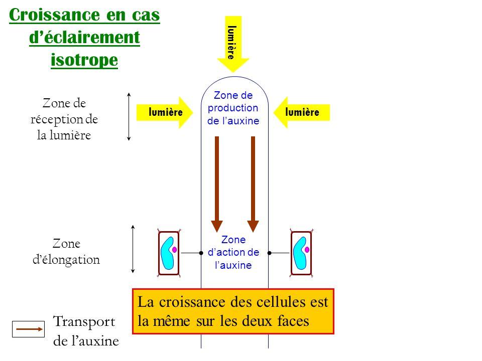 Croissance en cas déclairement anisotrope lumière Zone de production de lauxine Zone daction de lauxine Transport de lauxine La croissance des cellules est plus importante sur la face non éclairée