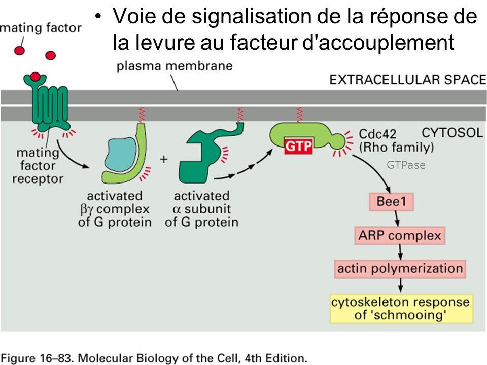 23 Fig 16-83 Voie de signalisation de la réponse de la levure au facteur d'accouplement GTPase