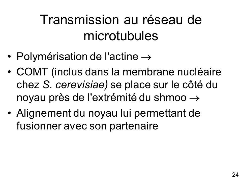 24 Transmission au réseau de microtubules Polymérisation de l'actine COMT (inclus dans la membrane nucléaire chez S. cerevisiae) se place sur le côté