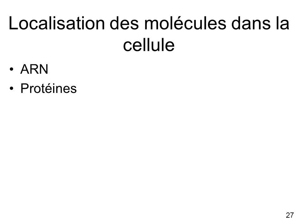 27 Localisation des molécules dans la cellule ARN Protéines