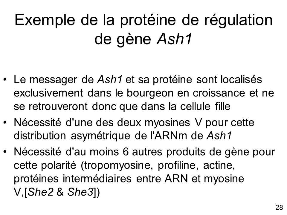 28 Exemple de la protéine de régulation de gène Ash1 Le messager de Ash1 et sa protéine sont localisés exclusivement dans le bourgeon en croissance et