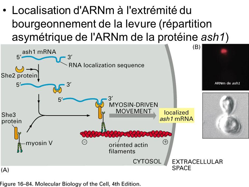 29 Fig 16-84 Localisation d'ARNm à l'extrémité du bourgeonnement de la levure (répartition asymétrique de l'ARNm de la protéine ash1) ARNm de ash1
