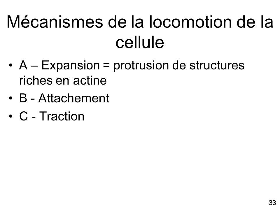 33 Mécanismes de la locomotion de la cellule A – Expansion = protrusion de structures riches en actine B - Attachement C - Traction