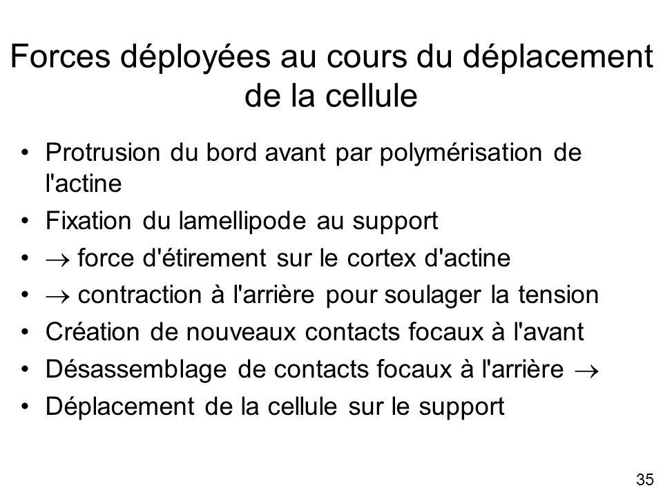 35 Forces déployées au cours du déplacement de la cellule Protrusion du bord avant par polymérisation de l'actine Fixation du lamellipode au support f
