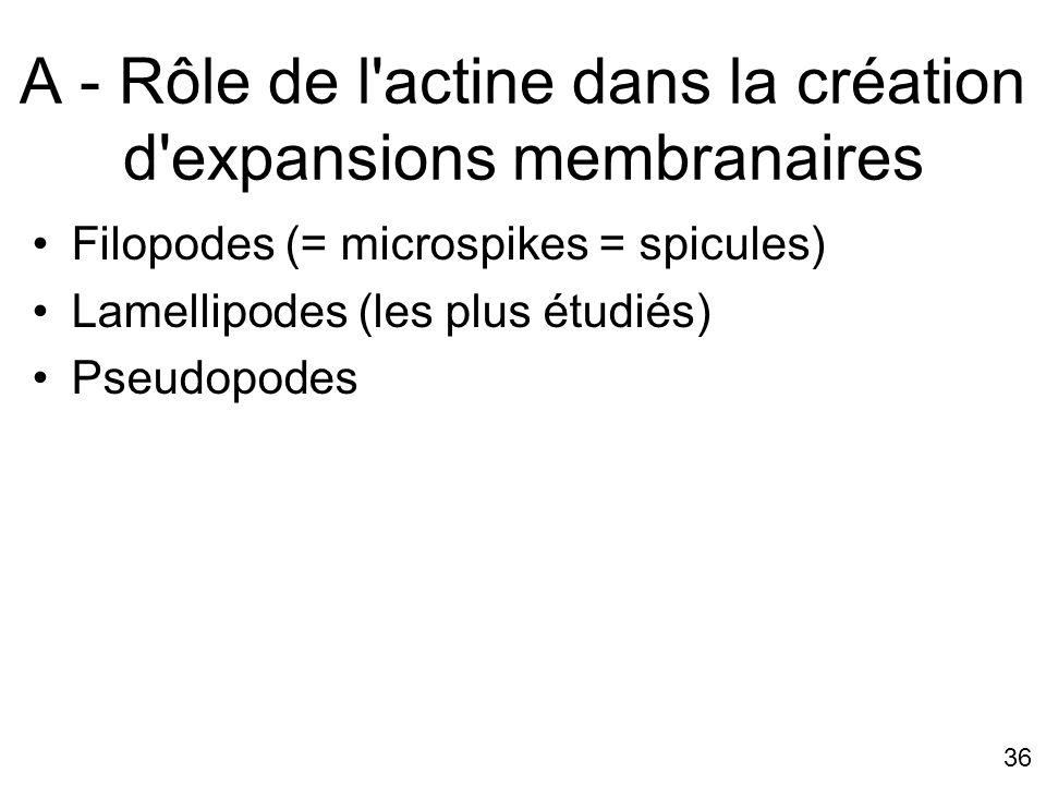 36 A - Rôle de l'actine dans la création d'expansions membranaires Filopodes (= microspikes = spicules) Lamellipodes (les plus étudiés) Pseudopodes