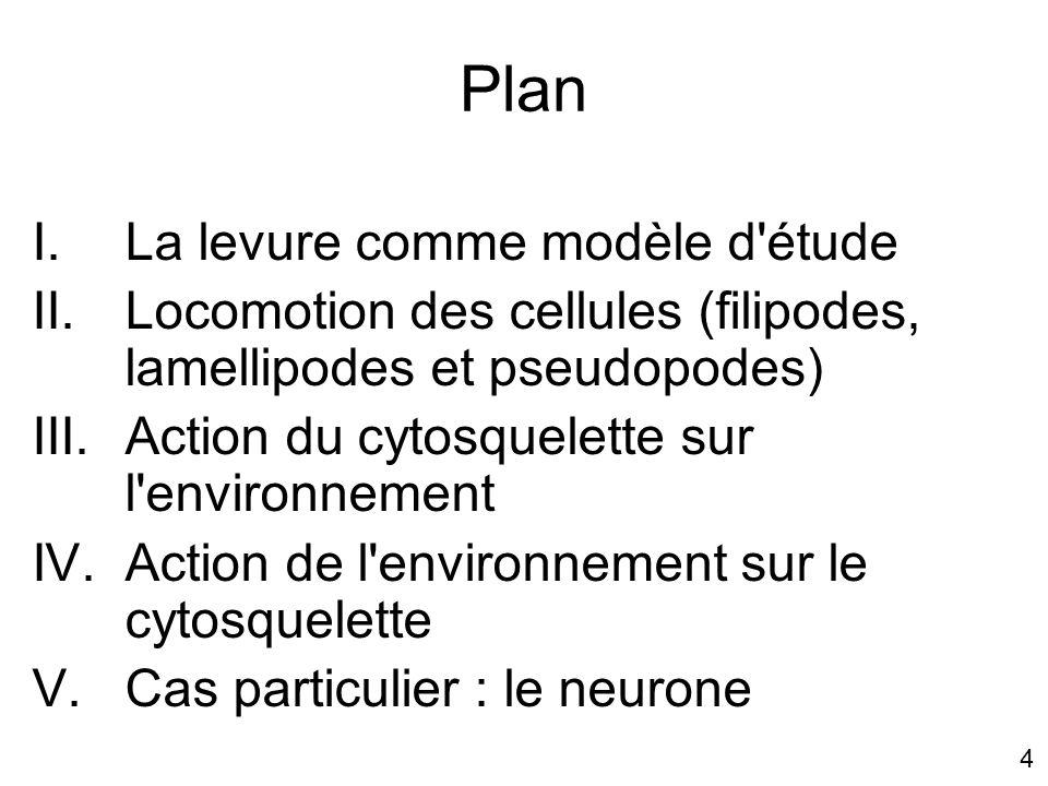 4 Plan I.La levure comme modèle d'étude II.Locomotion des cellules (filipodes, lamellipodes et pseudopodes) III.Action du cytosquelette sur l'environn
