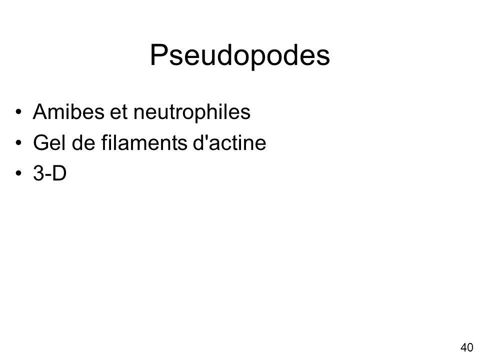 40 Pseudopodes Amibes et neutrophiles Gel de filaments d'actine 3-D