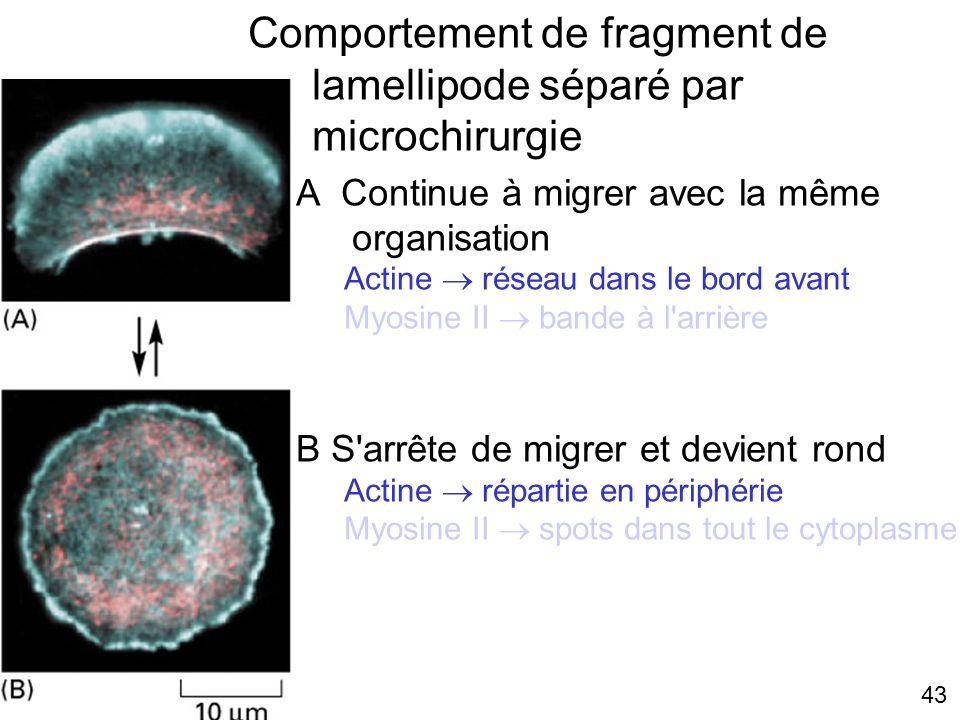 43 Fig 16-87 Comportement de fragment de lamellipode séparé par microchirurgie A Continue à migrer avec la même organisation Actine réseau dans le bor