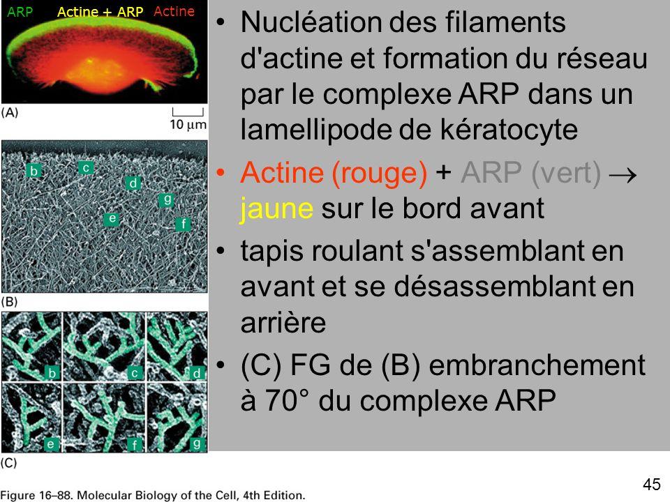 45 Fig 16-88 Nucléation des filaments d'actine et formation du réseau par le complexe ARP dans un lamellipode de kératocyte Actine (rouge) + ARP (vert