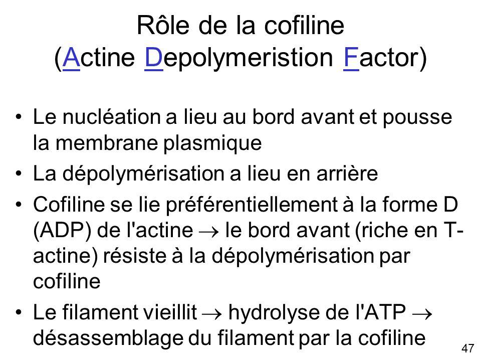 47 Rôle de la cofiline (Actine Depolymeristion Factor) Le nucléation a lieu au bord avant et pousse la membrane plasmique La dépolymérisation a lieu e