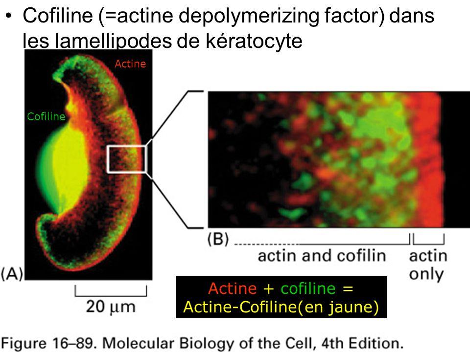 48 Fig 16-89 Cofiline (=actine depolymerizing factor) dans les lamellipodes de kératocyte Actine Cofiline Actine + cofiline = Actine-Cofiline(en jaune