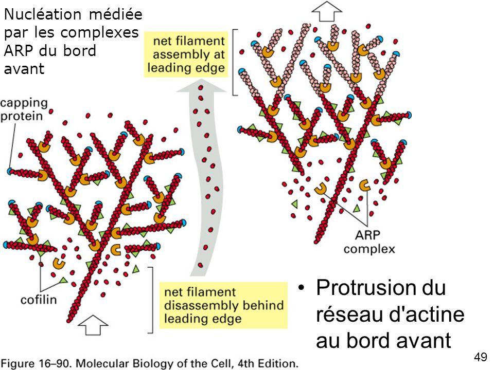 49 Fig 16-90 Protrusion du réseau d'actine au bord avant Nucléation médiée par les complexes ARP du bord avant