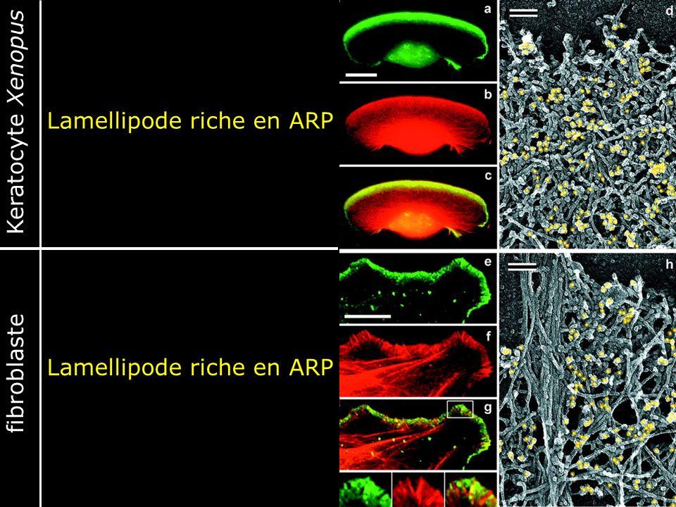 52 Fig. 3. Localization of Arp2/3 complex in lamellipodia. (a-c and e-g) Fluorescence microscopy of Xenopus keratocyte (a-c) or fibroblast (e-g). Stai