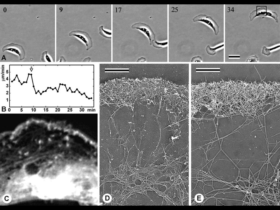 56 Fig. 7. Differential response of lamellipodial actin network to LA. (A) Phase-contrast sequence of a locomoting Xenopus keratocyte. After addition