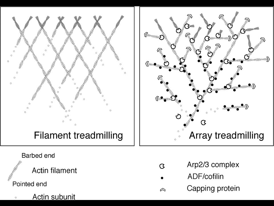 60 Fig. 11. Two treadmilling models for actin turnover in lamellipodia. Left, treadmilling of individual filaments suggests that each actin filament i
