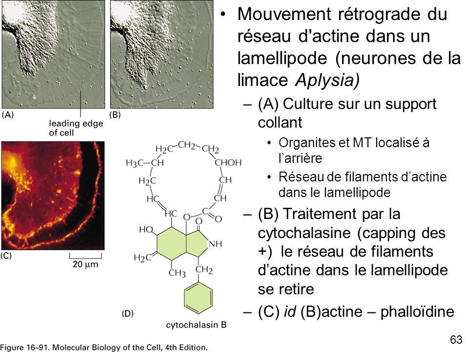 63 Fig 16-91 Mouvement rétrograde du réseau d'actine dans un lamellipode (neurones de la limace Aplysia) –(A) Culture sur un support collant Organites