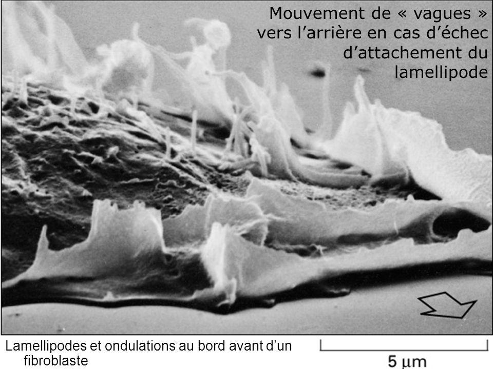 66 Fig 16-92 Lamellipodes et ondulations au bord avant dun fibroblaste Mouvement de « vagues » vers larrière en cas déchec dattachement du lamellipode