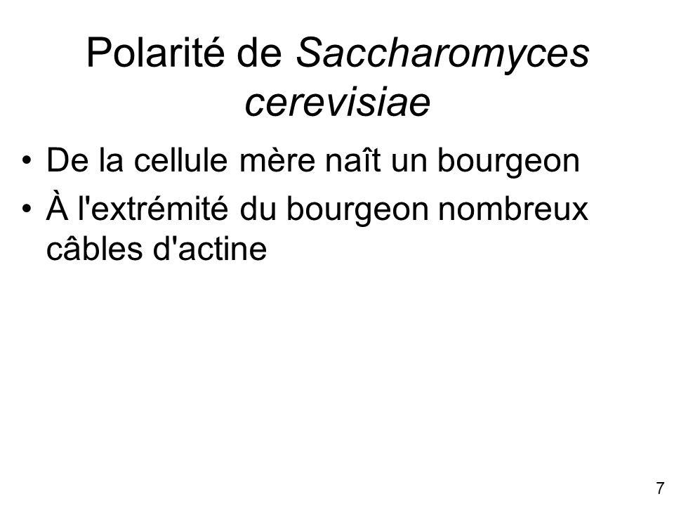 7 Polarité de Saccharomyces cerevisiae De la cellule mère naît un bourgeon À l'extrémité du bourgeon nombreux câbles d'actine