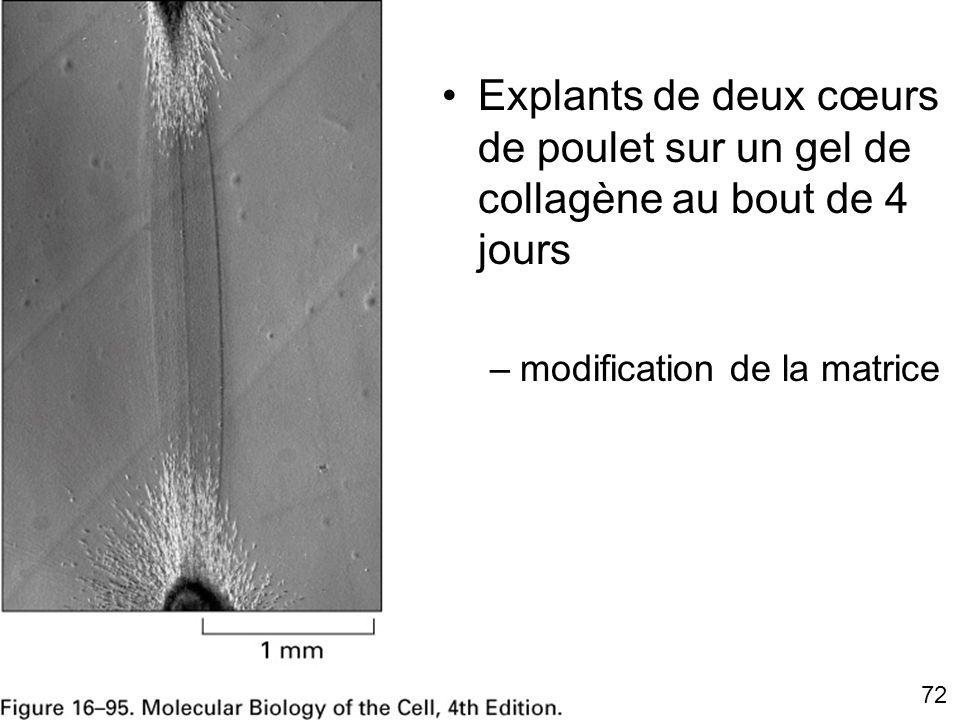 72 Fig 16-95 Explants de deux cœurs de poulet sur un gel de collagène au bout de 4 jours –modification de la matrice