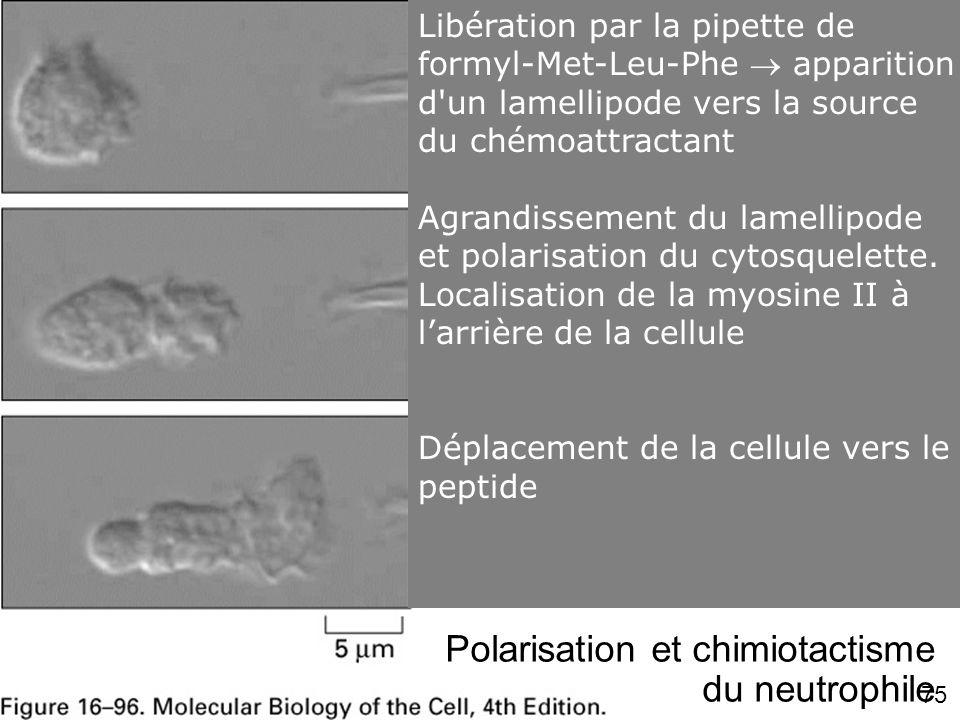 75 Fig 16-96 Polarisation et chimiotactisme du neutrophile Libération par la pipette de formyl-Met-Leu-Phe apparition d'un lamellipode vers la source